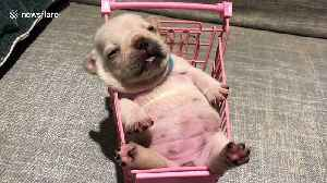 Newborn French bulldog puppy chills out in tiny shopping trolley [Video]
