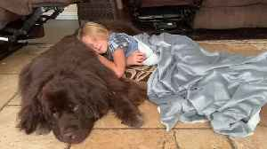 Newfoundland dog makes for the perfect resting spot after girl's first day of school [Video]