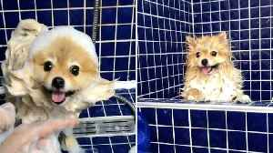POMERANIAN TRIES ON HILARIOUS NEW LOOKS DURING SHOWER TIME [Video]
