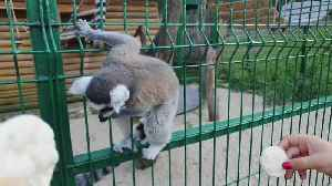Lemur breaks free from cage at zoo and startles onlookers [Video]