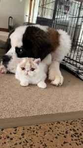 Huge Dog Lovingly Licks Feline Friend [Video]
