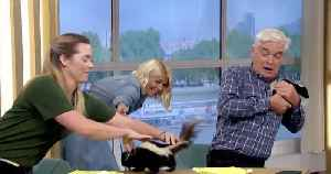 Holly Willoughby and Phillip Schofield meet skunks on This MorningHolly Willoughby and Phillip Schofield meet skunks on This Mor [Video]