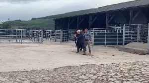 Boris Johnson walks bull on Scottish farm visit [Video]