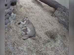 Endangered lion cubs born at Edinburgh Zoo [Video]