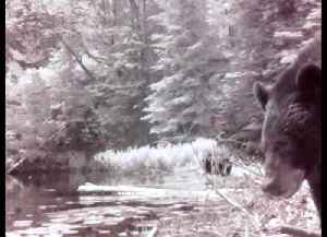 Mother bear and cubs explore around beaver pond [Video]