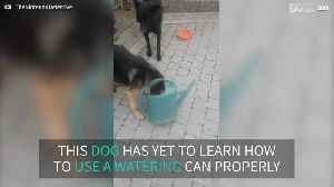 Hapless dog gets head caught in watering can [Video]