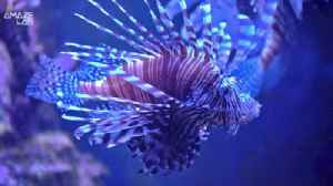 Hungry as a Lion… Fish! Lionfish Taking Over the Atlantic Ocean [Video]