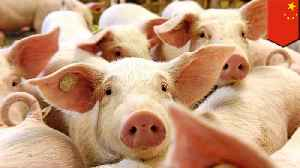 Swine fever outbreak forces China to release emergency pork reserve [Video]