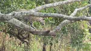 News video: The incredible moment a jaguar and a caiman battle