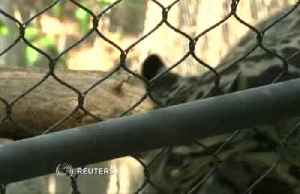 Clouded leopards explore new home at National Zoo [Video]