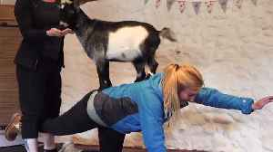 Fitness class in Scotland lets you practice Pilates with baby goats [Video]