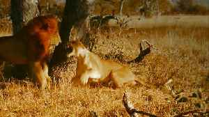 'Serengeti': Lioness Fights Off Male Lions [Video]