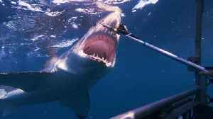 'Shark Week': Tagging a Massive Great White Shark [Video]