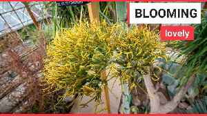 60 year wait for 'tequila plant' flower to bloom [Video]