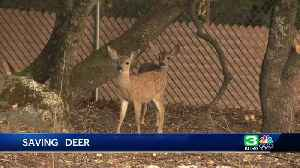News video: Fencing leads to deer deaths in El Dorado County, official says