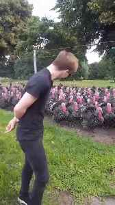 Guy Makes Gobbling Sound at Group of Turkeys Who Respond Together [Video]