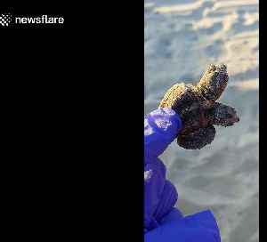 Rare two-headed baby turtle found on South Carolina beach [Video]