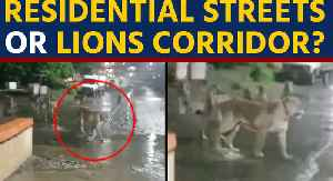 Lions found roaming on Gujarat's Junagadh streets, video goes viral [Video]