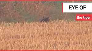 Couple claim to have spotted a large wild cat, known locally as the Fen Tiger in Suffolk [Video]