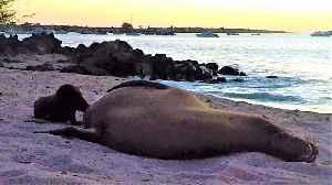 Newborn baby sea lion adorably nurses on the beach [Video]