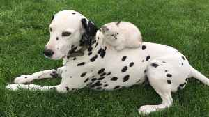 Beautiful Dalmatian hangs out with his sweet kitten [Video]