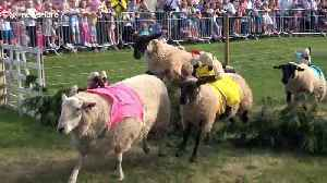 Bizarre sheep-racing contest takes place in UK [Video]