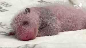 Newborn panda twins flourish at Berlin zoo [Video]