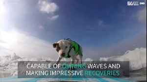 Surfing dog makes skillful recovery to avoid wipe out [Video]