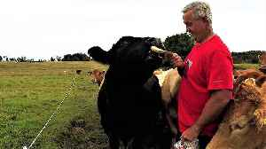 Brave or crazy? Man wears red shirt to hand feed 2,000 pound bull [Video]