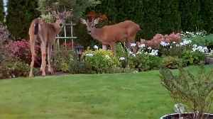 Herd of deer join family around backyard campfire [Video]