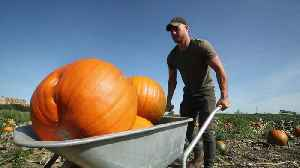 The annual Halloween pumpkin harvest in Yorkshire [Video]