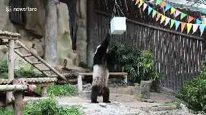 Xuang Xuang the panda dies in Thai zoo aged 19 after snacking on bamboo shoots [Video]