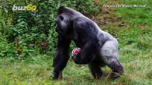 Ape-Plus Player! Pictures Show 400-Pound Gorilla Practicing with Rugby Ball [Video]