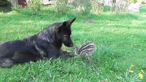 Emu Chick Shares Special Friendship With German Shepherd [Video]