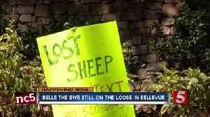 Belle the ewe still on the loose in Bellevue [Video]