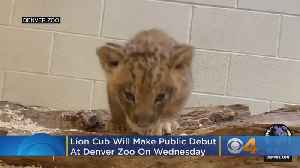 Lion Cub Will Make Public Debut At Denver Zoo On Wednesday [Video]