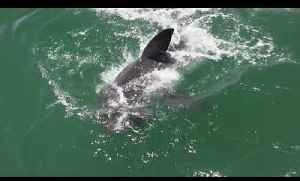 Little Bird Has a Narrow Escape from White Shark's Mouth [Video]