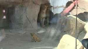 Denver Zoo's lion cub makes his public debut [Video]