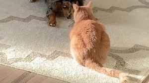 Excited dog desperately tries to befriend grumpy cat [Video]
