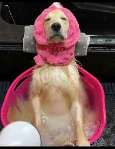 Golden Retriever relaxes while taking cold shower [Video]