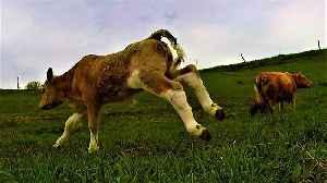 Joyful newborn calf has serious case of the zoomies [Video]