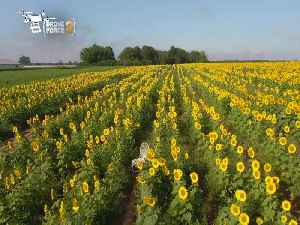 Web Extra: Drone Force 2 At The North Fork Sunflower Maze [Video]