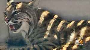 Colorado Springs Woman Puts Injured Bobcat In Car Next To Her Child [Video]