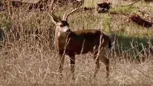 Drivers Warned to Watch for Deer Crossing Pleasanton Roads [Video]