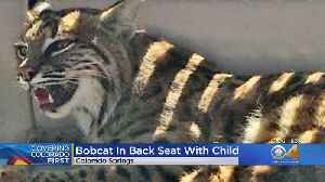 Colorado Springs Woman Picks Up Injured Bobcat With Child In The Car [Video]