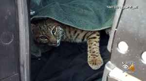 Woman Finds Injured Bobcat, Puts Animal In SUV With Child [Video]