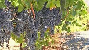 Wine Country Growers Grapple With Grape Glut [Video]