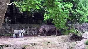Huge rhino is terrified of a cardboard cutout of himself at Thai zoo [Video]