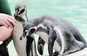 Penguin swims from New Zealand to Australia [Video]