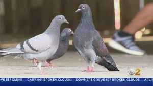 Viral Video Of Pigeon Pooping On Lawmaker Spurs Action At Filthy CTA Stop [Video]